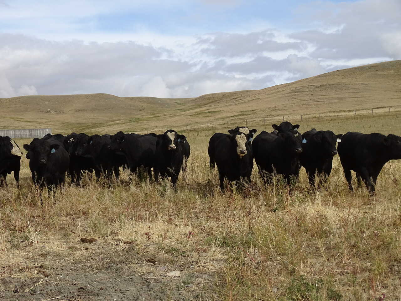 Simmental X Angus Coming 2 Year Olds